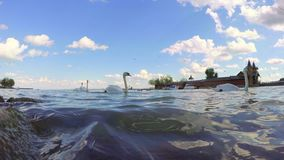 Swans on the lake Balaton  town Keszthely in Hungary stock footage