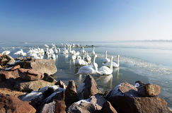 Swans on Lake Balaton in winter time Royalty Free Stock Photos