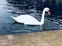 Swans. Lake swans beautiful water Royalty Free Stock Photography