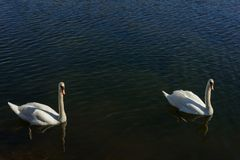 Swans. In lake with blue water Stock Image