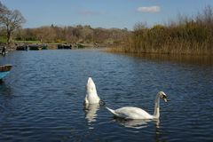 Swans. In lake with blue water Stock Photo