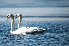 Swans on the lake with blue water background Royalty Free Stock Photography
