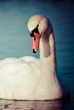 Swans on the lake with blue water background Royalty Free Stock Photos