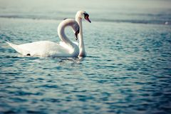 Swans on the lake with blue water background Stock Photography