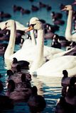 Swans on the lake with blue water background Royalty Free Stock Images