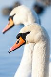 Swans on the lake with blue water background Royalty Free Stock Photo