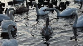 Swans on the lake with blue water background.  stock video footage