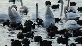 Swans on the lake with blue water background stock video footage