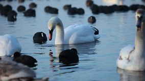 Swans on the lake with blue water background stock video