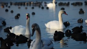 Swans on the lake with blue water background.  stock footage