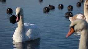 Swans on the lake with blue water background stock footage