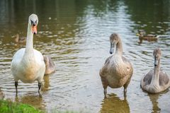 Swans on the lake coming out of the water stock photography