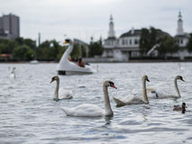 Swans. On a lake in Copenhagen Royalty Free Stock Images