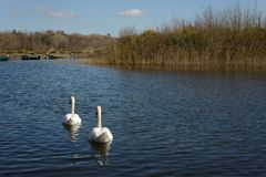 Swans in lake. Couple of swans swimming in lake on bright sunny day Stock Photos