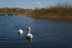Swans in lake. Couple of swans swimming in lake on bright sunny day Stock Photo
