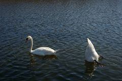 Swans in lake. Couple of swans swimming in lake on bright sunny day Royalty Free Stock Photos