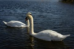 Swans in lake. Couple of swans swimming in lake on bright sunny day Royalty Free Stock Photography