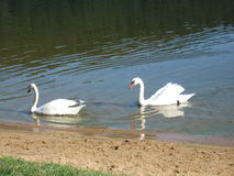 Swans in the lake. Couple of swans swimming in the lake Stock Photo