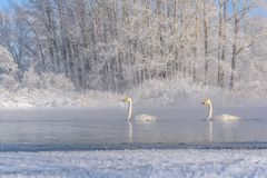 Swans lake couple winter frost Stock Photo