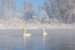 Swans lake couple winter frost Royalty Free Stock Images