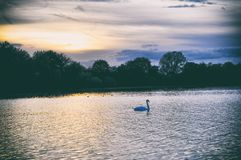 Swans on a lake covered with sun germany stock image