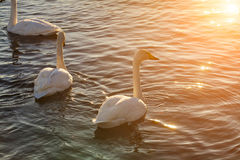 Swans on the lake at dawn in winter Royalty Free Stock Photos