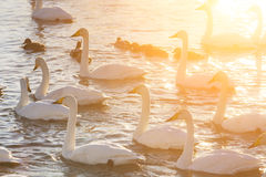 Swans on the lake at dawn in winter Royalty Free Stock Photography