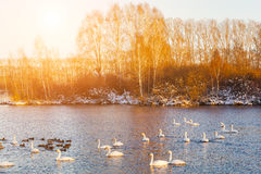 Swans on the lake at dawn in winter Stock Photos