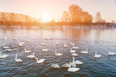 Swans on the lake at dawn in winter Stock Images