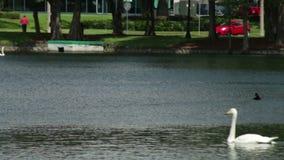 Swans in Lake Eola Park stock video