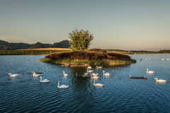 Swans on Lake. In evening Royalty Free Stock Photo