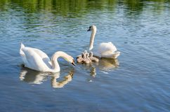 Swans on the lake. Familiy of swans stock image