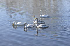 Swans on the lake. Royalty Free Stock Photo