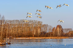 Swans lake fly birds Stock Images