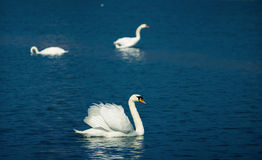 Swans on lake. Focus on a swan on the lake, with two more in the background Stock Photo