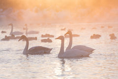 Swans lake fog winter sunset Stock Photo