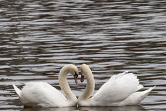 Swans in a lake forming a heart (close-up) Royalty Free Stock Image