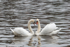 Swans in a lake forming a heart Royalty Free Stock Photos