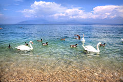 Swans on the Lake Garda Royalty Free Stock Photos