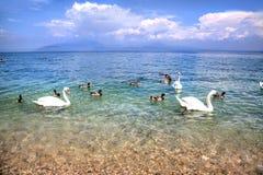 Swans on the Lake Garda Royalty Free Stock Photos