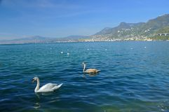 Swans on lake geneva Stock Photos