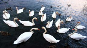 Swans on lake Geneva Stock Photography