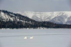 Swans in lake kussharo. Two white swans lying on snow covered lake, shot at lake kussharo, Akan national park, Japan in winter Royalty Free Stock Photos