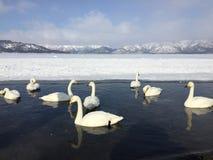 Swans in lake kussharo. White swans swimming at the bank of  snow covered lake, shot at lake kussharo, Akan national park, Japan in winter Stock Image
