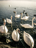 Swans on the lake Royalty Free Stock Images