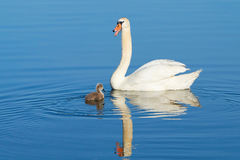 Swans on a lake Royalty Free Stock Photo