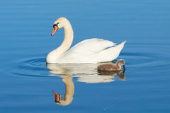 Swans on a lake Royalty Free Stock Photography