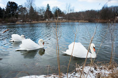 Swans on Lake in Ohio Stock Photography