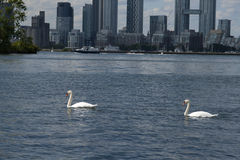 Swans on Lake Ontario Toronto Royalty Free Stock Photo