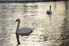 Swans in the lake Stock Images